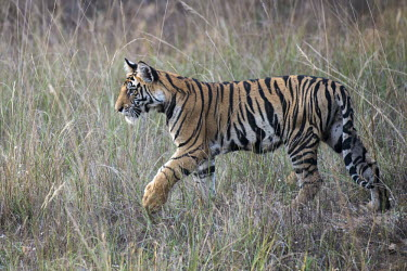 Bengal tiger (Panthera tigris tigris) cub in long grasses tiger,tigers,Bengal,big cat,big cats,cat,cats,carnivore,carnivores,predators,predator,India,Asia,Panthera,tigris,Panthera tigris,negative space,subspecies,young,cub,Panthera tigris tigris,meadow,Benga