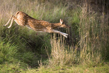 Chital/spotted deer (Axis axis) (female) leaping over ditch chital,chitals,spotted deer,deer,axis,female,adult,meadow,jump,jumping,action,movement,leap,leaping,stretch,Axis axis,Wild,Chordates,Chordata,Mammalia,Mammals,Cervidae,Deer,Even-toed Ungulates,Artioda