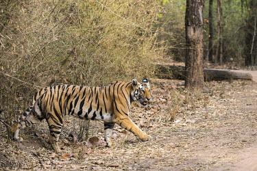 Bengal tigress (Panthera tigris tigris) emerging from bamboo thicket tiger,tigers,tigress,Bengal,big cat,big cats,cat,cats,carnivore,carnivores,predators,predator,India,Asia,Panthera,tigris,Panthera tigris,walking,path,track,adult,female,subspecies,forest,bamboo,crossi