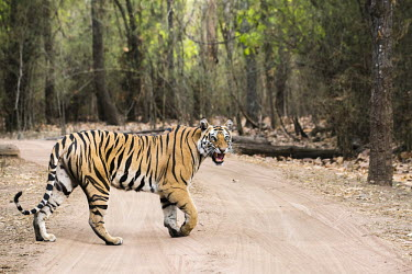Bengal tigress (Panthera tigris tigris) crossing track in sal forest (Shorea robusta) tiger,tigers,tigress,Bengal,big cat,big cats,cat,cats,carnivore,carnivores,predators,predator,India,Asia,Panthera,tigris,Panthera tigris,walking,path,track,adult,female,subspecies,forest,bamboo,crossi