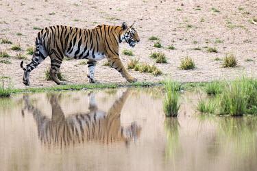 Bengal tigress (Panthera tigris tigris) walking along edge of pool tiger,tigers,tigress,Bengal,big cat,big cats,cat,cats,carnivore,carnivores,predators,predator,India,Asia,Panthera,tigris,Panthera tigris,negative space,adult,female,subspecies,Panthera tigris tigris,w