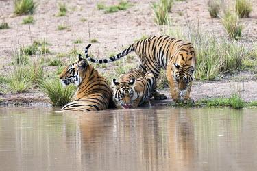Bengal tiger (Panthera tigris tigris) mother with cubs at edge of pool tiger,tigers,tigress,Bengal,big cat,big cats,cat,cats,carnivore,carnivores,predators,predator,India,Asia,Panthera,tigris,Panthera tigris,adult,female,subspecies,Panthera tigris tigris,walking,water,po
