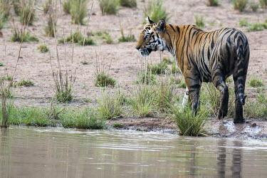 Bengal tigress (Panthera tigris tigris) at edge of pool tiger,tigers,tigress,Bengal,big cat,big cats,cat,cats,carnivore,carnivores,predators,predator,India,Asia,Panthera,tigris,Panthera tigris,negative space,adult,female,subspecies,Panthera tigris tigris,w