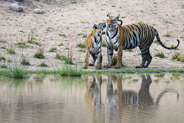 Bengal tiger (Panthera tigris tigris) mother with cub at edge of pool tiger,tigers,tigress,Bengal,big cat,big cats,cat,cats,carnivore,carnivores,predators,predator,India,Asia,Panthera,tigris,Panthera tigris,negative space,adult,female,subspecies,Panthera tigris tigris,w