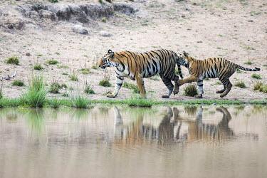 Bengal tiger (Panthera tigris tigris) cub playing with mother at edge of pool tiger,tigers,tigress,Bengal,big cat,big cats,cat,cats,carnivore,carnivores,predators,predator,India,Asia,Panthera,tigris,Panthera tigris,negative space,adult,female,subspecies,Panthera tigris tigris,w