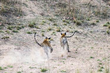 Bengal tiger (Panthera tigris tigris) cubs chasing each other tiger,tigers,tigress,Bengal,big cat,big cats,cat,cats,carnivore,carnivores,predators,predator,India,Asia,Panthera,tigris,Panthera tigris,walking,subspecies,Panthera tigris tigris,cub,cubs,young,chase,