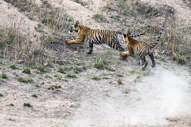 Bengal tiger (Panthera tigris tigris) cubs chasing each other tiger,tigers,tigress,Bengal,big cat,big cats,cat,cats,carnivore,carnivores,predators,predator,India,Asia,Panthera,tigris,Panthera tigris,walking,subspecies,Panthera tigris tigris,cub,cubs,young,chase,