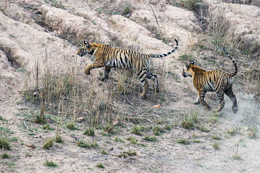 Bengal tiger (Panthera tigris tigris) cubs chasing each other tiger,tigers,tigress,Bengal,big cat,big cats,cat,cats,carnivore,carnivores,predators,predator,India,Asia,Panthera,tigris,Panthera tigris,walking,subspecies,Panthera tigris tigris,cub,cubs,young,play,p