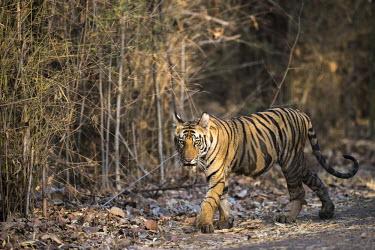 Bengal tiger (Panthera tigris tigris) cub walking by bamboo thicket tiger,tigers,tigress,Bengal,big cat,big cats,cat,cats,carnivore,carnivores,predators,predator,India,Asia,Panthera,tigris,Panthera tigris,walk,walking,path,track,cub,subspecies,forest,bamboo,wet,lookin