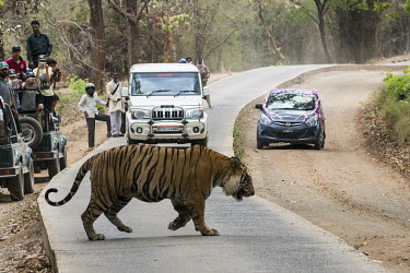 Bengal tiger (Panthera tigris tigris) crossing main road through tiger reserve tiger,tigers,Bengal,big cat,big cats,cat,cats,carnivore,carnivores,predators,predator,India,Asia,Panthera,tigris,Panthera tigris,walking,path,track,road,adult,subspecies,forest,crossing,cross,tourists