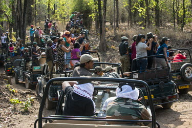 Tourists in jeeps looking for Bengal tigers (Panthera tigris tigris) in sal forest (Shorea robusta) tiger,tigers,Bengal,big cat,big cats,cat,cats,carnivore,carnivores,predators,predator,India,Asia,Panthera,tigris,Panthera tigris,subspecies,Panthera tigris tigris,jeep,jeeps,tourist,industry,busy,watc