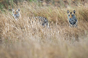 Bengal tiger (Panthera tigris tigris) cubs in long grasses tiger,tigers,Bengal,big cat,big cats,cat,cats,carnivore,carnivores,predators,predator,India,Asia,Panthera,tigris,Panthera tigris,subspecies,camouflage,tall grass,Panthera tigris tigris,cub,cubs,young,