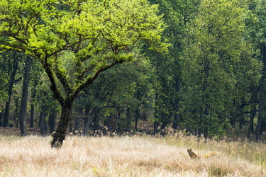 Bengal tiger (Panthera tigris tigris) cub in meadow by 'khair' tree (Senegalia catechu) tiger,tigers,Bengal,big cat,big cats,cat,cats,carnivore,carnivores,predators,predator,India,Asia,Panthera,tigris,Panthera tigris,subspecies,camouflage,sal forest,forest,Shorea robusta,tall grass,Panth