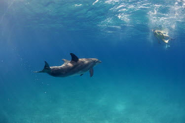 Bottlenose dolphin dolphin,dolphins,swimming,tourist,tourists,lady,snorkel,snorkling,blue,sea,seas,marine,shallow,water,waters,surface,ocean,oceans,swim,Mammalia,Mammals,Oceanic Dolphins,Delphinidae,Cetacea,Whales, Dolp