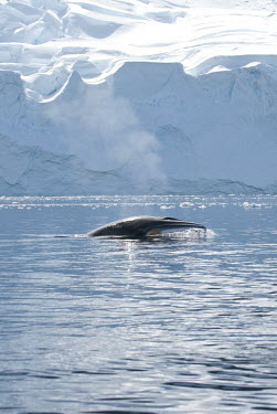 Minke whale at surface Antarctica,whale,cetacean,marine,surface,fin,pectoral fin,ice,snow,cold,sea,oceans,surfacing,iceberg,freezing,frozen,breathing,head,Cetacea,Whales, Dolphins, and Porpoises,Rorquals,Balaenopteridae,Mam