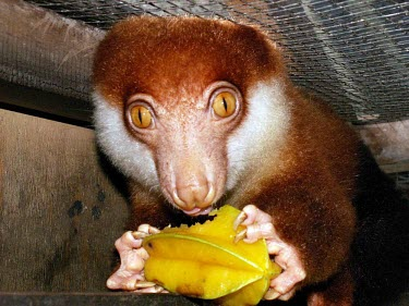 Black-spotted cuscus near Jayapura, Papua province, Indonesia brown,west,tree,cute,coast,new guinea,furry,eating,coastal,northern,papua,marsupial,marsupials,jackfruit,black-spotted,starfruit,cuscus,spilocuscus,rufoniger,captive,cage,Captive,Diprotodontia,Kangaro