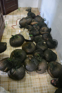 Rescue of 43 Sunda pangolins from Yen Thuy District, Hoa Binh province on May 9, 2015 Sunda pangolin,Sunda pangolins,pangolin,pangolins,Animalia,Chordata,Mammalia,Pholidota,Manidae,Manis,javanica,Malayan pangolin,pangolin javanais,pangolin malais,pangol�n malayo,rescue,rescued,wildlife