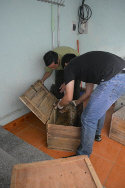 Sunda pangolin rescue - being loaded into crates for transportation to rescue centre Sunda pangolin,Sunda pangolins,pangolin,pangolins,Animalia,Chordata,Mammalia,Pholidota,Manidae,Manis,javanica,Malayan pangolin,pangolin javanais,pangolin malais,pangol�n malayo,rescue,rescued,wildlife