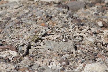 Fabian'?s lizard Laguna Chaxa,Liolaemus fabiani,Los Flamencos National Reserve,Nature,Salar de Atacama,saltflat Lizard,Sector Soncor,animal,atacama,chile,desert,fauna,Fabian'?s lizard,Yanez's tree iguana,lizard,lizard