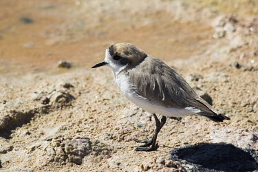 Puna plover Chorlo de la Puna,Puna plover,Charadrius alticola,Laguna Chaxa,Los Flamencos National Reserve,Nature,Salar de Atacama,Sector Soncor,animal,atacama,bird,birds,plover,plovers,chile,desert,fauna,Animalia