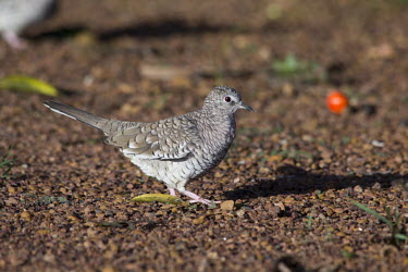 Scaled dove Cerrado,Columbina squammata,Fogo-apagou,nature,scaled dove,wildlife,animal,bird,brazil,fauna,fazenda,goias,itapirapua,rolinha,Animalia,Chordata,Aves,Columbiformes,Columbidae,dove,doves,birds,Least Con