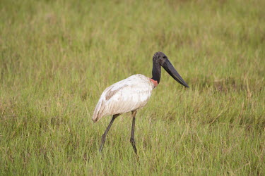 Jabiru stork Cerrado,Jabiru mycteria,nature,wildlife,animal,bird,birds,Brazil,fauna,fazenda,goias,itapirapua,jabiru,tuiuiu,grass,grassland,shallow focus,negative space,adult,Jabiru stork,stork,storks,big,large,bea