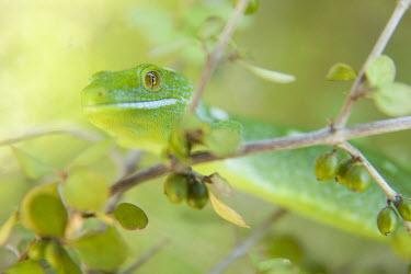 Auckland green gecko Auckland green gecko,green,gecko,geckos,subspecies,North Island,New Zealand,nature,animal,fauna,lizard,lizards,macro,reptile,reptiles,Wellington,zealandia,Naultinus elegans elegans,Naultinus elegans,A