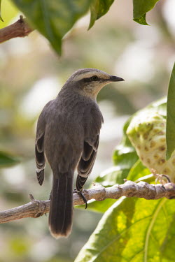 Chalk-browed mockingbird Cerrado,chalk-browed mockingbird,mockingbird,mockingbirds,Mimus saturninus,nature,Sabi�-do-campo,wildlife,animal,bird,birds,Brazil,fauna,fazenda,goias,itapirapua,grass,alert,adult,shallow focus,potrai