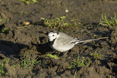 White wagtail wagtail,wagtails,Motacilla alba,nature,wildlife,animal,autumn,bird,birds,fauna,Finland,Helsinki,Viikki,white wagtail,small,mud,grass,sun,sunshine,Perching Birds,Passeriformes,Aves,Birds,Chordates,Chor