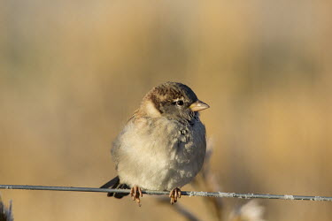 House sparrow nature,Passer domesticus,house sparrow,sparrow,sparrows,wildlife,animal,autumn,bird,birds,fauna,Finland,Helsinki,Viikki,portrait,perch,perched,wire,shallow focus,delicate,light,lighting,sun,Ploceidae,