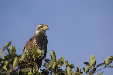 Bird of prey Cerrado,nature,wildlife,animal,bird,birds,Brazil,fauna,fazenda,goias,itapirapua,bird of prey,predator,hawk,shallow focus,negative space,blue sky,tree,perch,perched,Nature,Wildlife,brazil
