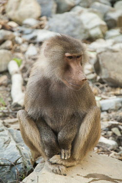 Hamadryas baboon nature,animal,animals,fauna,hamadryas baboons,New Zealand,Wellington,zoo,primate,primates,old world monkey,old world monkeys,sitting,sit,thoughful,face,nose,texture,soft,shallow focus,neat,Captive,Old