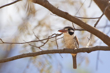 White-eared puffbird Cerrado,nature,Nystalus chacuru chacuru,animal,bird,fauna,flora,goias,joao-bobo,pirinopolis,plant,stock,tree,water,Animalia,Chordata,Aves,Piciformes,Bucconidae,perch,perched,negative space,adult,Least