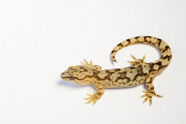 Gecko nature,animal,fauna,flash,gecko,geckos,lizard,lizards,macro,New Zealand,reptile,Wellington,Animalia,Chordata,Reptilia,Squamata,Gekkonidae,white background,negative space,pattern,Nature,new zealand,wel