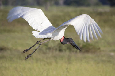 Jabiru stork Cerrado,Jabiru mycteria,nature,wildlife,animal,bird,birds,Brazil,fauna,fazenda,goias,itapirapua,jabiru,tuiuiu,adult,Jabiru stork,stork,storks,flight,in flight,wings,wingspan,motion,movement,large,Chor