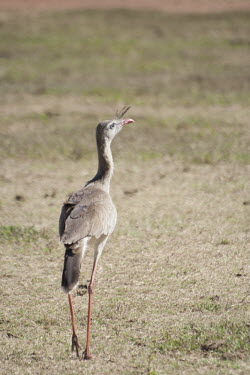 Red-legged seriema red-legged seriema,seriemas,Cerrado,nature,animal,bird,birds,Brazil,fauna,fazenda,goias,itapirapua,seriema,Animalia,Chordata,Aves,Cariamiformes,Cariamidae,Least Concern,walking,away,rear,grass,grassla