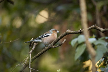 Chaffinch nature,animal,bird,birds,chaffinch,fauna,male,adult,New Zealand,park,wellington,zealandia,Fringilla coelebs,finch,finches,perch,perched,branch,side,shallow focus,negative space,Grossbeaks, Crossbills,