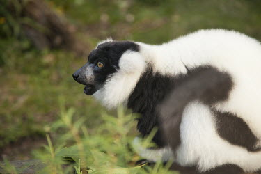 Black-and-white ruffed lemur lemur,lemurs,nature,animal,fauna,zoo,captive,black-and-white ruffed lemur,Lemuridae,calling,vocalisation,shallow focus,primate,primates,adult,black and white,black & white,Captive,Chordates,Chordata,P