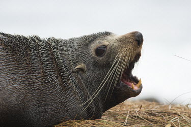 New Zealand fur seal New Zealand fur seal,fur seal,fur seals,eared seal,eared seals,nature,wildlife,animal,cape palliser,fauna,new zealand,teeth,mouth,open,whiskers,Carnivora,cornivore,carnivores,Otariidae,Eared Seals,Cho