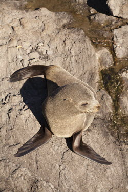 New Zealand fur seal New Zealand fur seal,fur seal,fur seals,eared seal,eared seals,nature,wildlife,animal,cape palliser,fauna,new zealand,Carnivora,cornivore,carnivores,looking down,on rock,rocky,shore,brown,grey,Otariid
