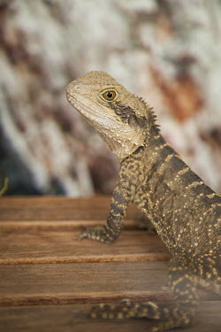 Australian water dragon nature,Physignathus lesueurii,animal,australian lizard,australian lizards,eastern water dragon,eastern water dragons,australian water dragon,australian water dragons,water dragon,water dragons,fauna,l
