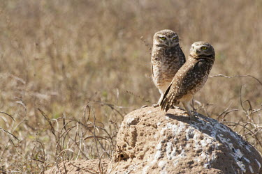 Burrowing owls burrowing owl,burrowing owls,owl,owls,Cerrado,nature,animal,bird,birds,Brazil,coruja,cupim,fauna,fazenda,goias,itapirapua,brown,dry,pair,two,shallow focus,negative space,burrow,mound,earth,mud,True Ow