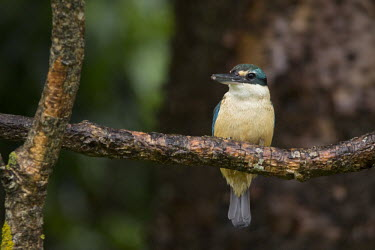 Sacred kingfisher nature,wildlife,animal,bird,birds,fauna,native,New Zealand,Least Concern,kingfisher,kingfishers,sacred kingfisher,strathmore,Todiramphus sanctus,wellington,shallow focus,perched,perch,branch,adult,Cor