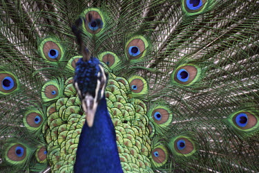 Peacock peacock,nature,animal,detail,fauna,bird,birds,adult,male,peafowl,shallow focus,feathers,eyes,stiking,colour,color,display,tail,tail feathers,Captive,Chordates,Chordata,Phasianidae,Grouse, Partridges,