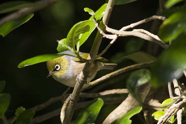 Silvereye silvereye,wax-eye,white-eye,nature,Zosterops lateralis,animal,bird,birds,fauna,New Zealand,Wellington,Passeriformes,Zosteropidae,Aves,Zosterops,Least Concern,perch,perched,bush,branch,twig,eye,lit,sun