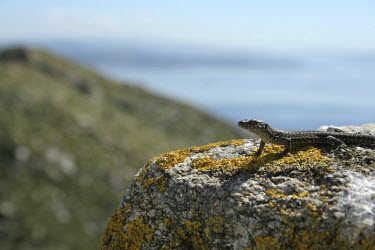 Lizard landscape landscape,lizard,lizards,nature,animal,fauna,reptile,reptiles,spain,vigo,rock,bask,basking,shallow focus,lichen,Nature,cies,fotos campeas,jpeg,reptil,stock