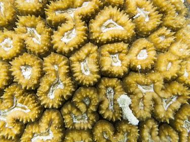 Coral invertebrate,invertbrates,marine invertebrate,marine invertbrates,nature,Fafa Island,fauna,Pacific island,snorkelling,Tonga,underwater,Pacific,island,marine,coral,corals,Anthozoa,Cnidaria,Nature,fafa