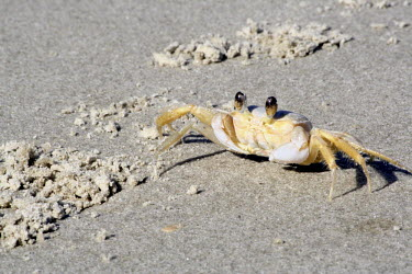 Atlantic ghost crab Atlantic ghost crab,ghost crab,ghost crabs,Ocypode quadrata,nature,animal,beach,crab,crabs,crustaceo,crustacean,crustaceans,Arthropoda,arthropod,arthropods,invertebrate,invertebrates,fauna,ilha do car