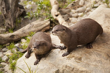 Small clawed otters in a zoo nature,animal,fauna,New Zealand,otter,otters,small clawed otter,Wellington,zoo,captive,mammal,mammals,carnivore,carnivores,Carnivora,Mustelidae,mustelid,Lutrinae,Animalia,shallow focus,two,pair,rock,C
