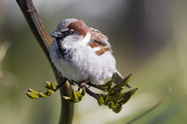 House sparrow nature,animal,bird,birds,fauna,flax,flora,flower,house sparrow,sparrow,sparrows,new zealand,new zealand flax,wellington,phormium,perched,perch,fluffed up,fluffy,shallow focus,Ploceidae,Weavers,Aves,Bi